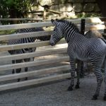 its-kniele-zebras